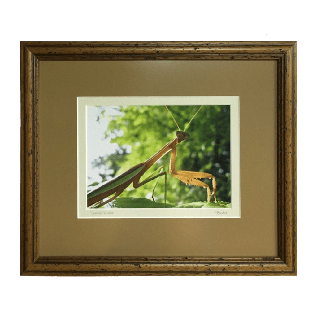 Praying Mantis Photography